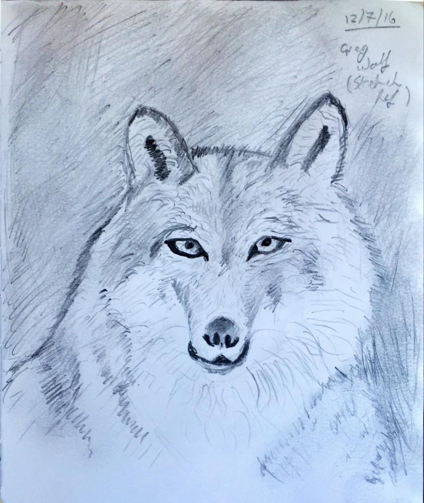 2016 07 12 Grey Wolf